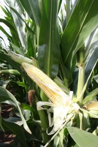 Mazorcas de maíz en Aragón.