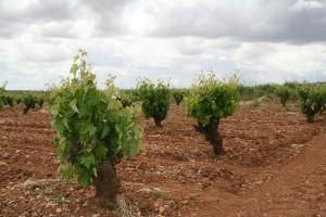 Cepas en vaso en Badajoz.