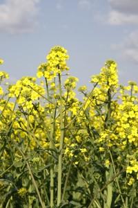Colza en flor en Navarra.
